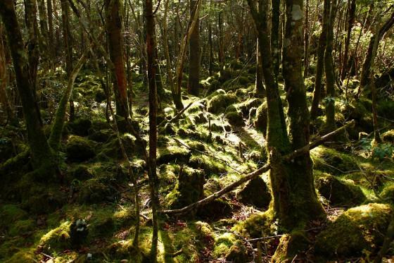 樹海内は一面苔類に覆い尽くされている。