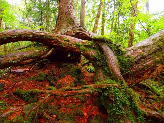 大きな木の下は溶岩石。この岩を抱え込むように立つ木々。